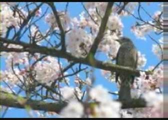 新居浜  池田池公園の桜
